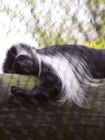 Monkey Kingdom Event