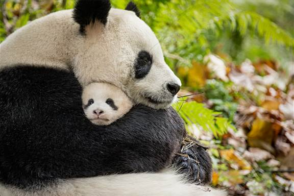 Disneynature Born in China Movie